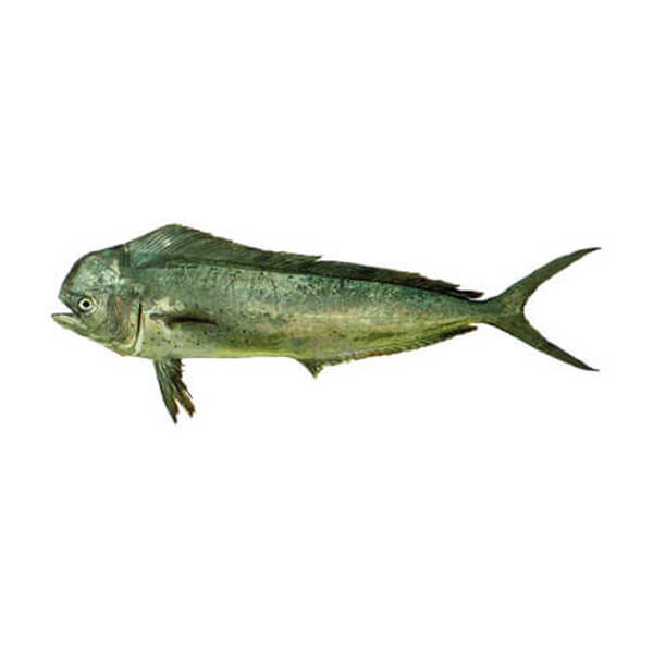 Common Dolphinfish