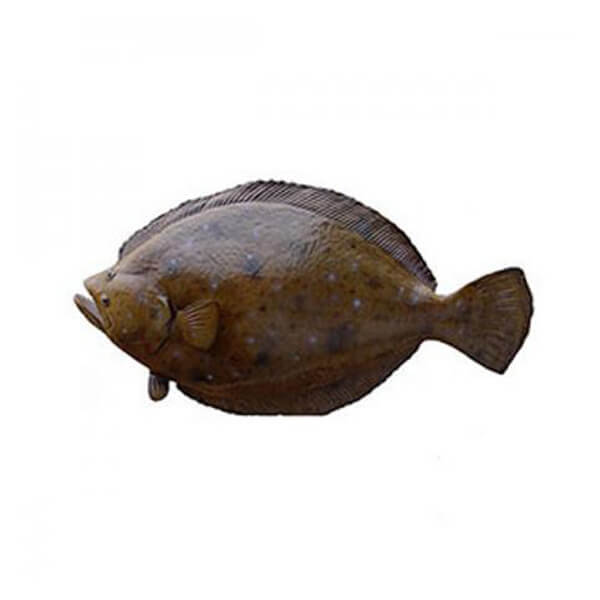 Indian Spiny Turbot