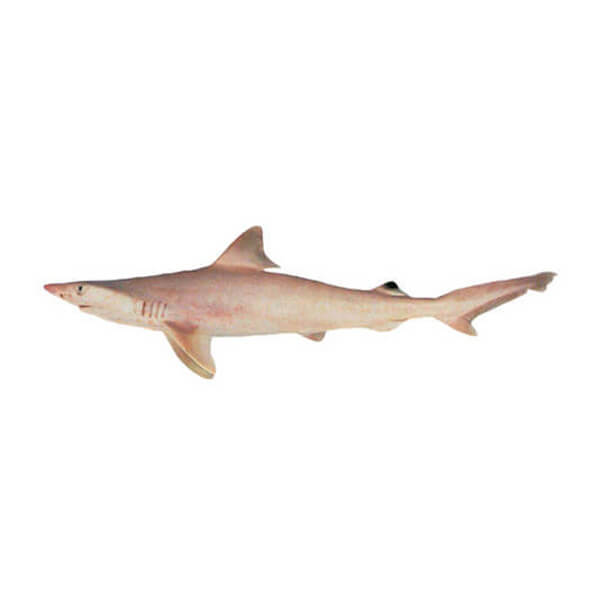 Whitecheek Shark